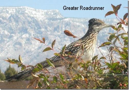 Greater Roadrunner